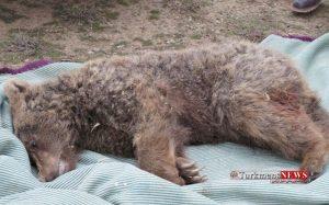 Khers 16 Sh 300x187 - علت مرگ یک خرس قهوهای گلستان در دست بررسی است