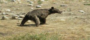 Khers 21 Sh 300x136 - خرس هم در صفحه شطرنج مسئولان محیط زیست گلستان مات شد