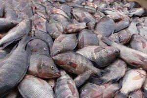 Mahi 22 Sh 300x200 - تولید ماهی تراریخته برای بررسی بیماری