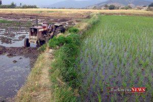 Shalikari 15 Sh 300x200 - افزایش سطح کاشت شالی با استفاده غیر مجاز از آبهای زیرزمینی