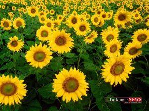 aftabgardan 01 2 300x225 - ۱۷۱۵ تن دانه روغنی آفتابگردان در استان گلستان خریداری شد