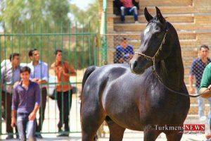 asb 30sh 300x200 - 40 سر اسب برندگان جشنواره زیبایی اسب اصیل ترکمن راز و جرگلان شدند