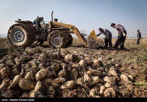 choghandar 6 Sh 300x209 - کشت بیش از ۶ هزار هکتار چغندرقند در استان گلستان
