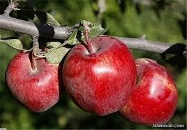 sib 27 sh - سیب صادراتی شش برابر ارزانتر از بازار داخلی